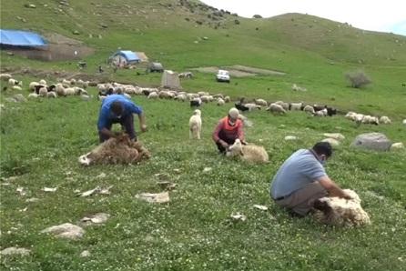 تولید ۲۵۰ تن پشم مرغوب در دره شهر